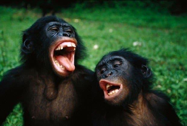 Sbadigli contagiosi tra le scimmie bonobo