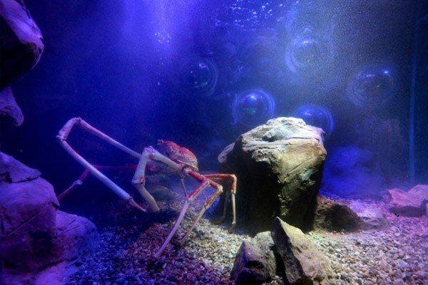 Granchio gigante che sembra un ragno