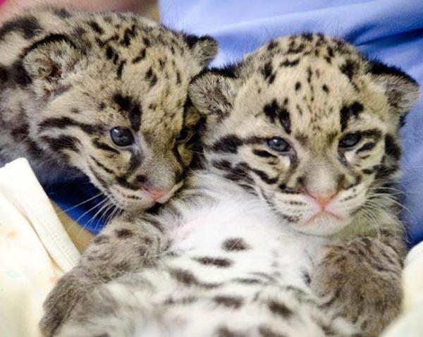 Cuccioli Leopardo Nebuloso