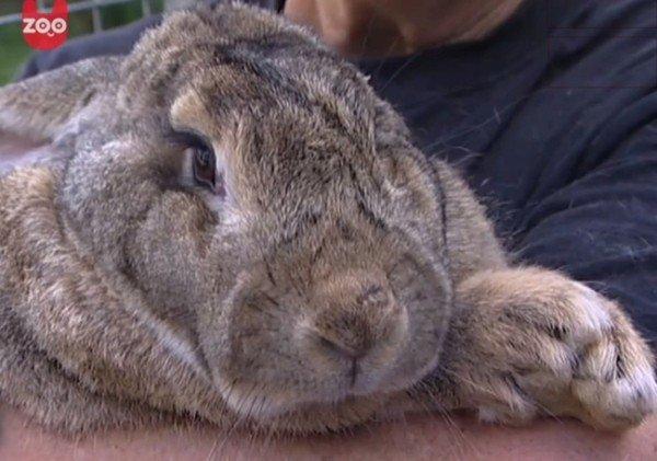 Ralph, il coniglio gigante nel Guinness dei primati