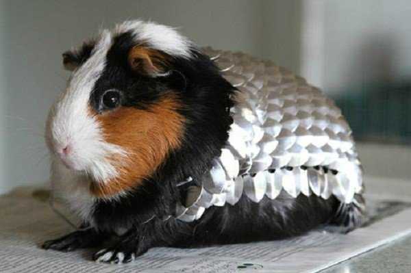 Armatura per porcellino d'India (Guinea pig armor)