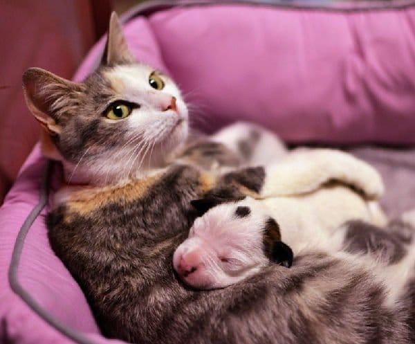Mamma gatta adotta cucciolo di pitbull