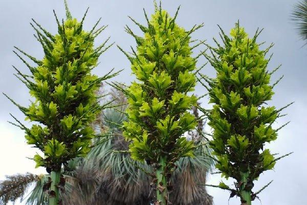 Puya chilensis, pianta che mangia le pecore