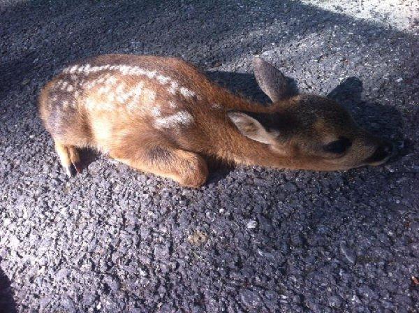 Bambi salvato da un cacciatore