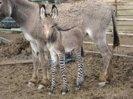 Zonkey: animale incrocio tra zebra e asino