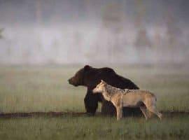 Incredibile amicizia tra l'orso e la lupa