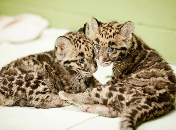 Leopardo nebuloso: foto bellissime dei cuccioli!