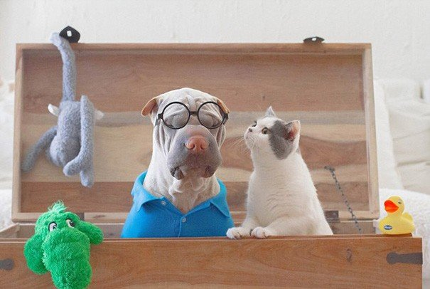 Shar Pei Paddington e Butler the Cats
